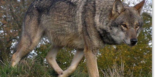 Волки часто выходят из леса в Джидинском районе.