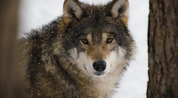 В Бурятии «подорожали» джидинские волки.